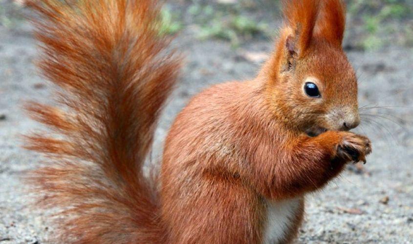 Red Squirrel in Leitrim